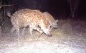 Camera trap photo. Photo: Kwando Carnivore Project