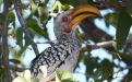 Yellow-billed hornbill. Photo: Vincent Guilleman