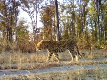 Leopard, taken with camera trap. Photo: Kwando Carnivore Project