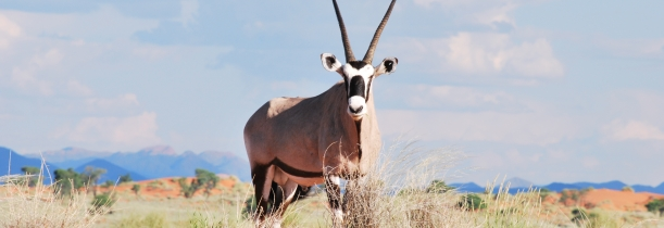 Gemsbok in the Greater Sossusvlei-Namib landscape. Photo: Alice Jarvis