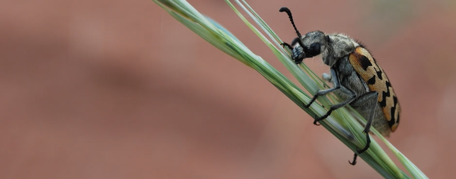 A desert beetle from the Greater Sossusvlei landscape. Photo: Alice Jarvis