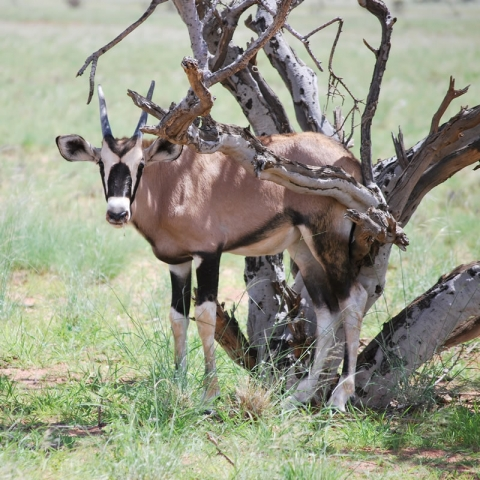Young oryx. Photo: Alice Jarvis