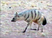 Aardwolf. Photo: NamibRand Nature Reserve