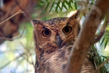 Spotted Eagle Owl. Photo: NamibRand Nature Reserve