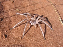 White Lady spider. Photo: NamibRand Nature Reserve