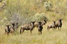 Wildebeest. Photo: Helge Denker